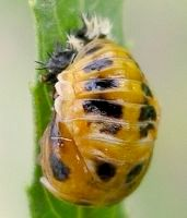 lady beetle pupa