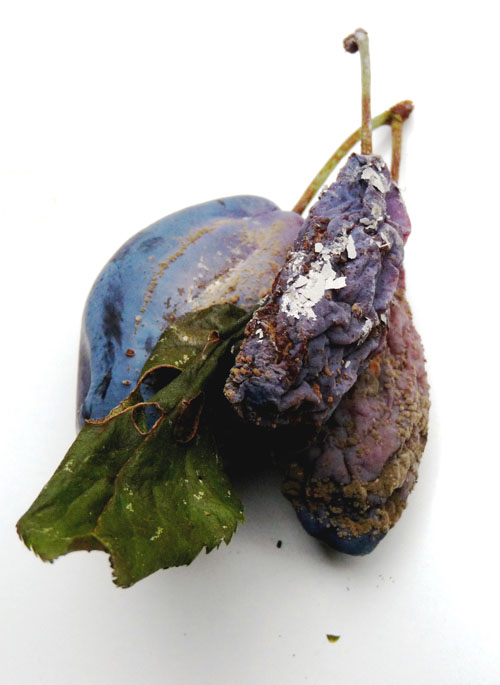 Brown rot on plum